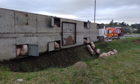 Caminhão tomba no trevo de Papanduva e porcos saem andando pela rodovia